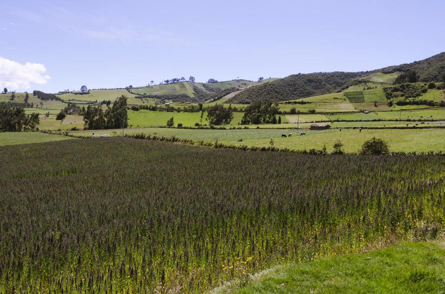 厄瓜多尔安第斯山脉的藜麦田